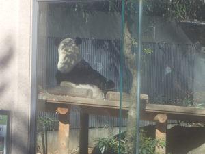 ジャイアントパンダ2