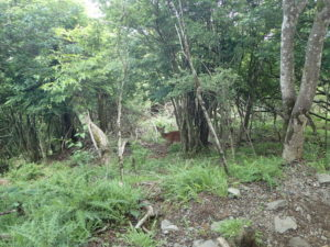 丹沢 大山 野生鹿