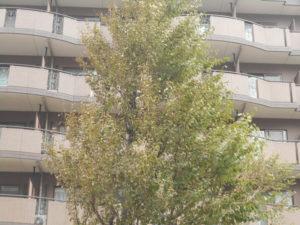 塩害の被害にあった木